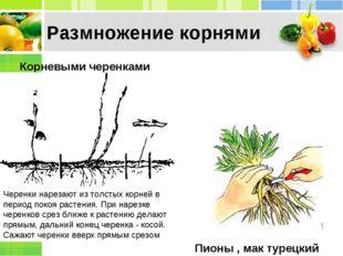 Корневыми черенками Пионы , мак турецкий Размножение корнями Черенки нарезают
