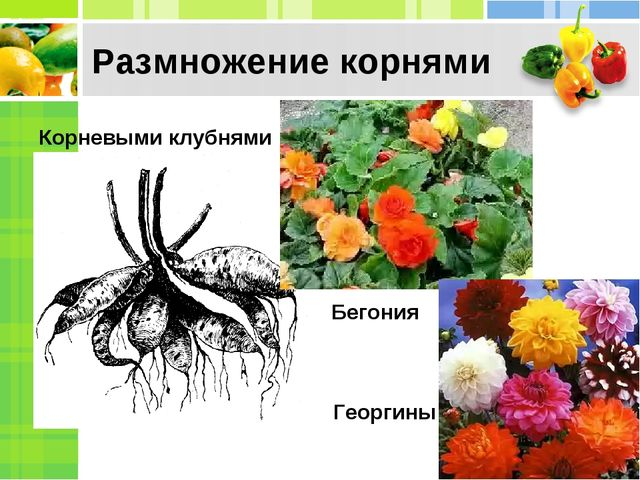 Корневыми клубнями Георгины Размножение корнями Бегония
