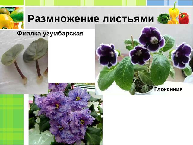 Размножение листьями Фиалка узумбарская Глоксиния