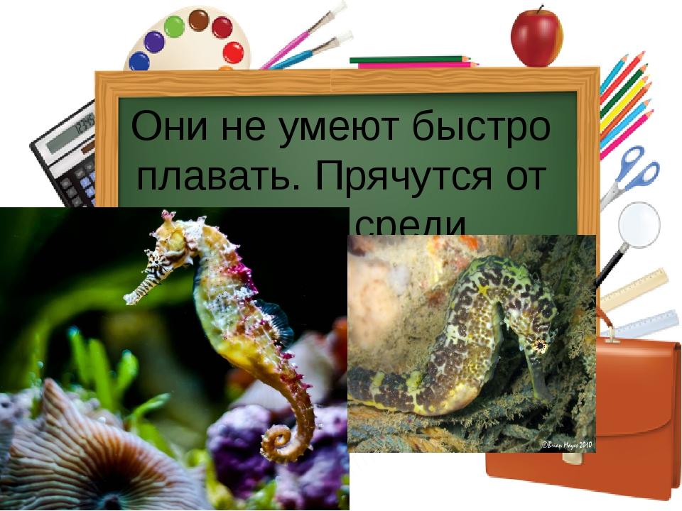 Они не умеют быстро плавать. Прячутся от врагов среди водорослей, зацепившис...