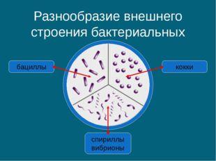 Разнообразие внешнего строения бактериальных клеток спириллы вибрионы бациллы