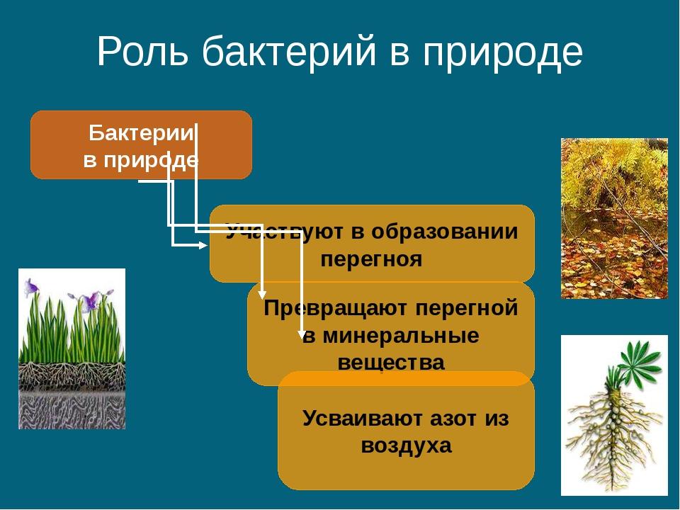 Роль бактерий в природе Бактерии в природе Участвуют в образовании перегноя П...