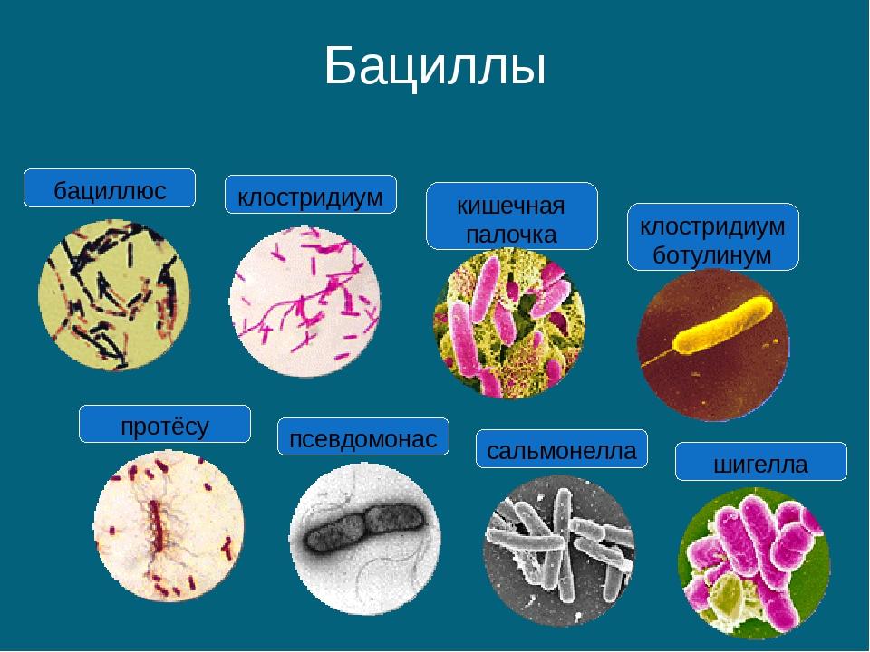 Бациллы протёсу псевдомонас сальмонелла шигелла кишечная палочка клостридиум...