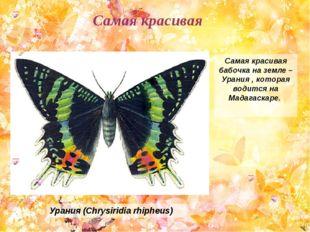 Самая красивая бабочка на земле – Урания , которая водится на Мадагаскаре. Ур