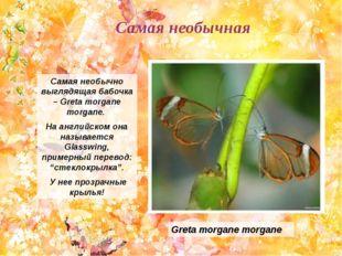 Самая необычно выглядящая бабочка – Greta morgane morgane. На английском она