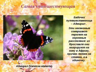 Бабочка путешественница – Адмирал . Эти насекомые совершают перелет на огромн