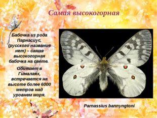 Бабочка из рода Парнасиус, (русского названия нет) – самая высокогорная бабоч