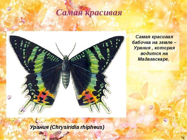 Самая красивая бабочка на земле – Урания , которая водится на Мадагаскаре. Ур...