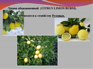 Лимон обыкновенный (CITRUS LIMON BURM). Относится к семейству Рутовых.