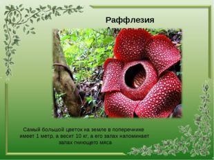 Раффлезия Арнольди Самый большой цветок на земле в поперечнике имеет 1 метр,