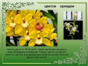 цветок орхидеи Цветок цветет от 45-50 дней. Самая маленькая орхидея в мире об