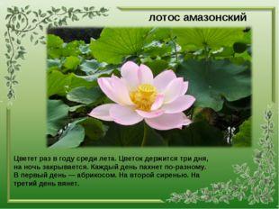 лотос амазонский Цветет раз в году среди лета. Цветок держится три дня, на но