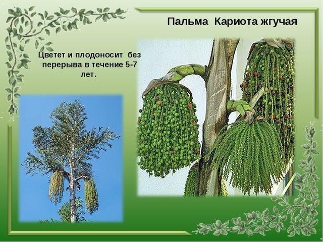 Пальма Кариота жгучая Цветет и плодоносит без перерыва в течение 5-7 лет.
