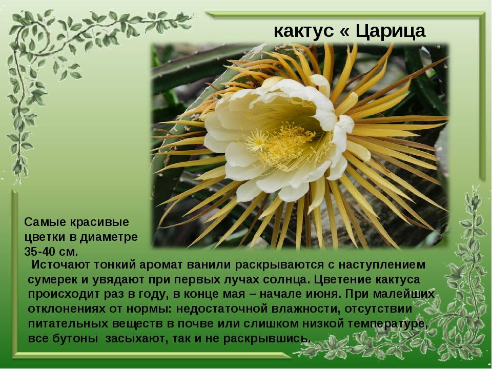 кактус « Царица ночи» Источают тонкий аромат ванили раскрываются с наступлен...