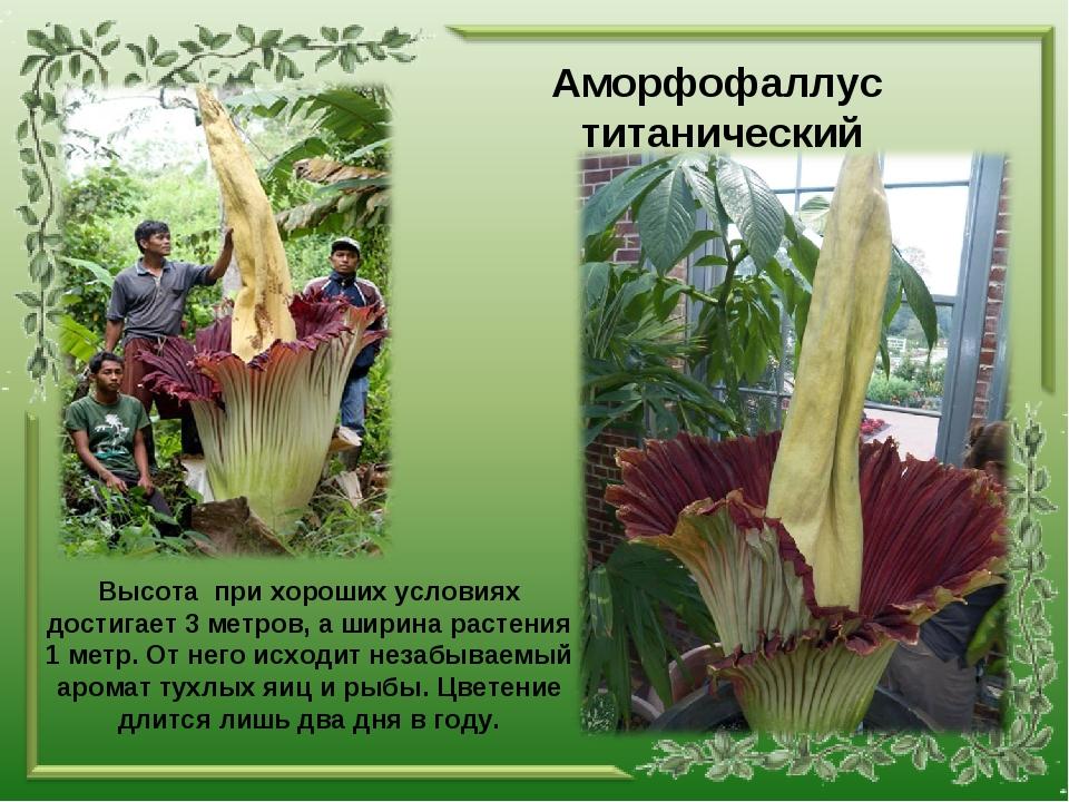 Аморфофаллус титанический Высота при хороших условиях достигает 3 метров, а ш...