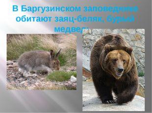 В Баргузинском заповеднике обитают заяц-беляк, бурый медведь.