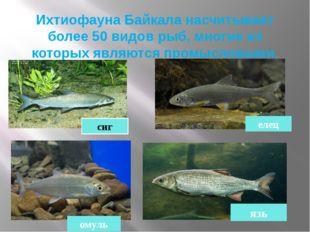Ихтиофауна Байкала насчитывает более 50 видов рыб, многие из которых являются