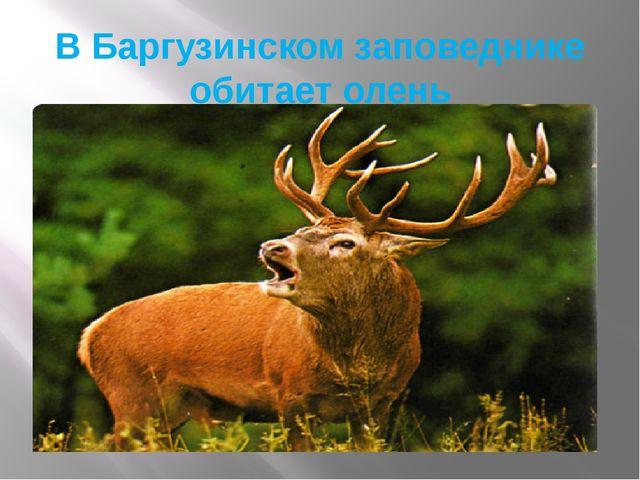 В Баргузинском заповеднике обитает олень