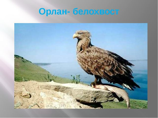 Орлан- белохвост