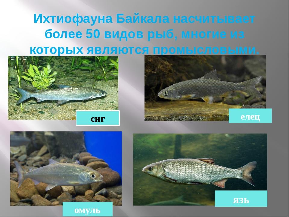 Ихтиофауна Байкала насчитывает более 50 видов рыб, многие из которых являются...