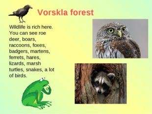 Vorskla forest Wildlife is rich here. You can see roe deer, boars, raccoons,