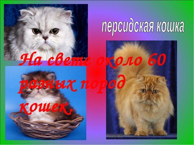 На свете около 60 разных пород кошек.