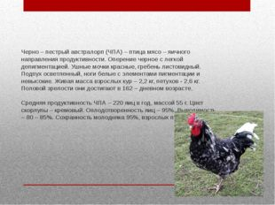 Черно – пестрый австралорп (ЧПА) – птица мясо – яичного направления продуктив
