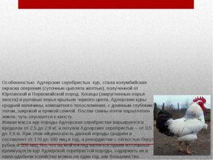 Особенностью Адлерских серебристых кур, стала колумбийская окраска оперения (