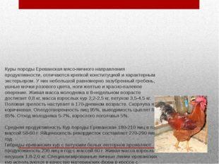 Куры породы Ереванская мясо-яичного направления продуктивности, отличаются кр
