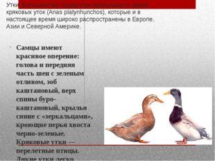Утки. Большинство пород уток произошли от диких кряковых уток (Anas platynhun