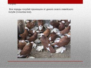 Голуби. Все породы голубей произошли от дикого сизого ливийского голубя (Colu
