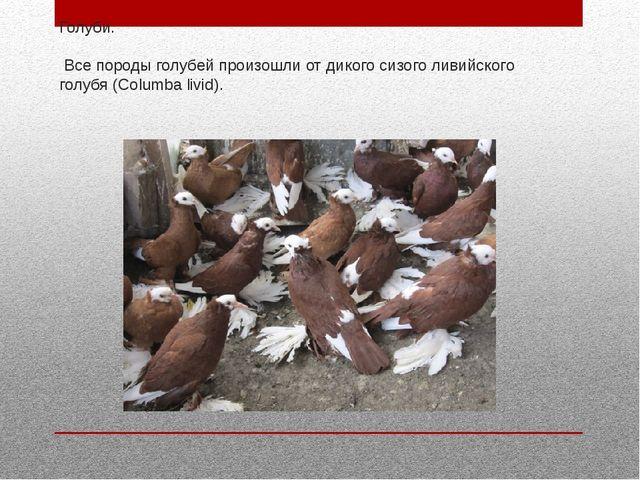 Голуби. Все породы голубей произошли от дикого сизого ливийского голубя (Colu...