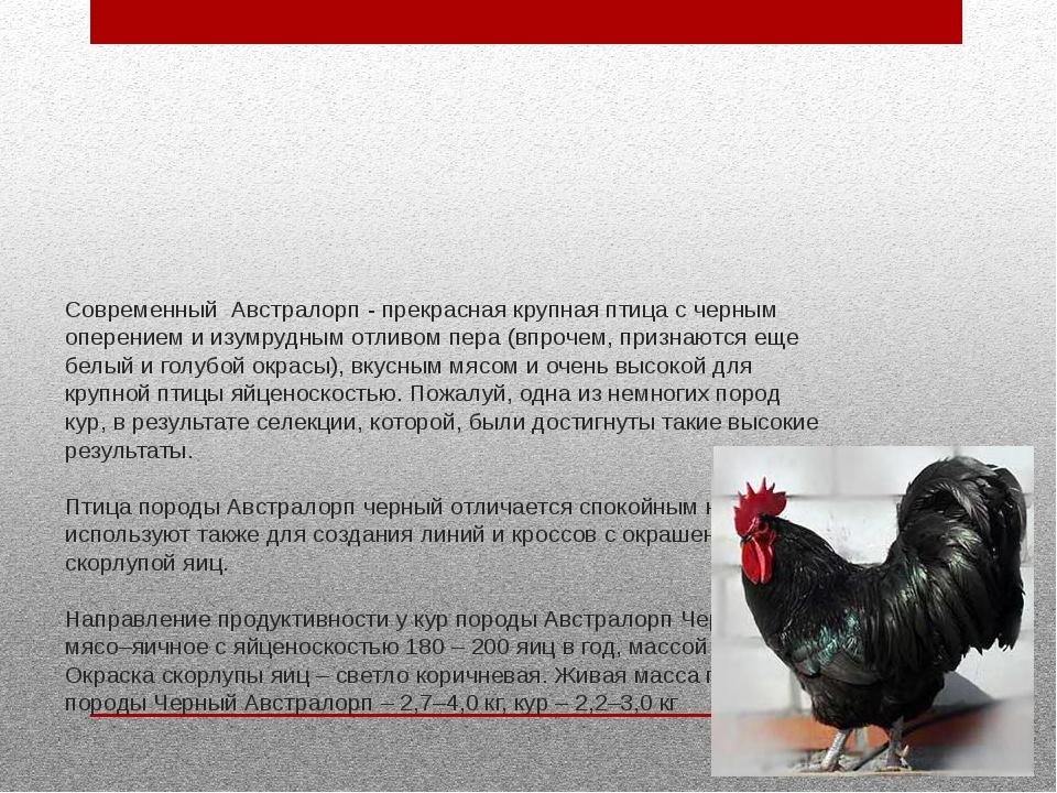 Современный Австралорп - прекрасная крупная птица с черным оперением и изумру...