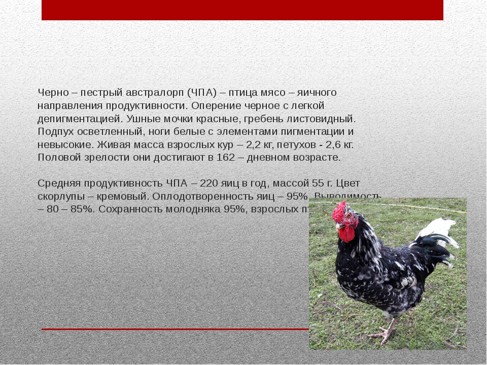 Черно – пестрый австралорп (ЧПА) – птица мясо – яичного направления продуктив...