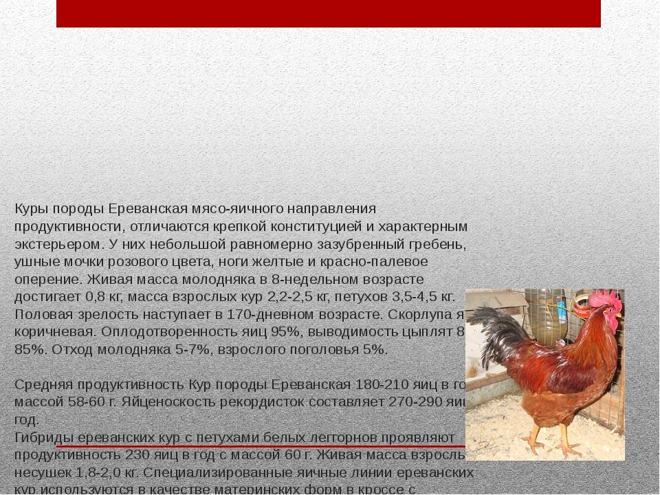 Куры породы Ереванская мясо-яичного направления продуктивности, отличаются кр...