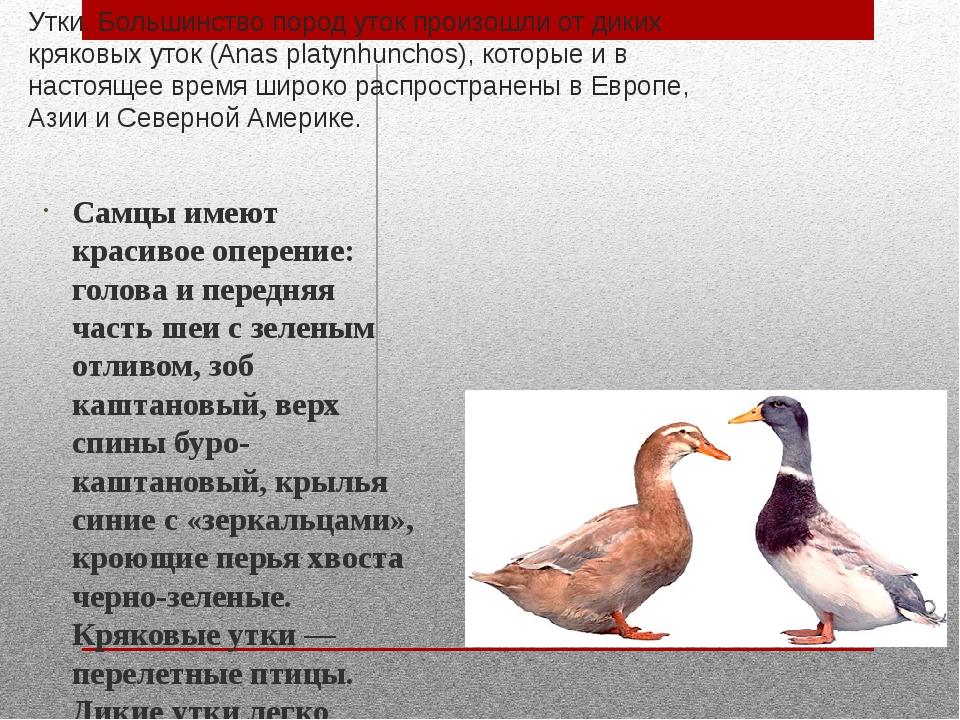 Утки. Большинство пород уток произошли от диких кряковых уток (Anas platynhun...