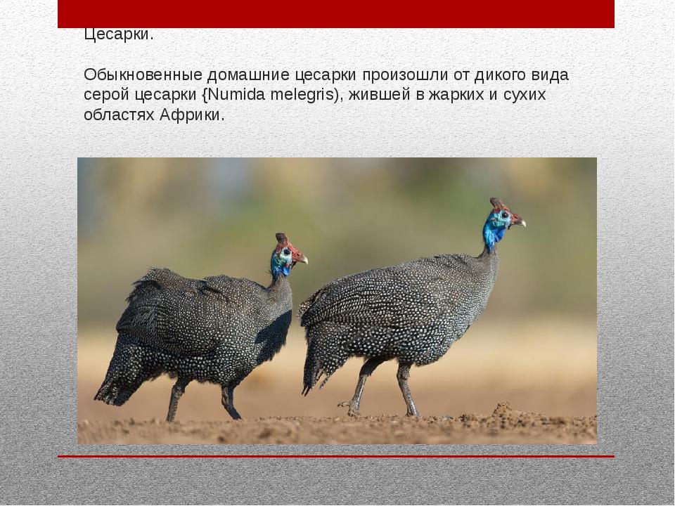 Цесарки. Обыкновенные домашние цесарки произошли от дикого вида серой цесарки...