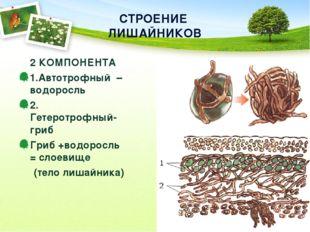 СТРОЕНИЕ  ЛИШАЙНИКОВ 2 КОМПОНЕНТА 1.Автотрофный  – водоросль   2. Гетеротр