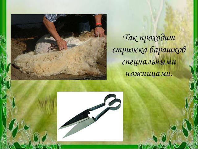 Так проходит стрижка барашков специальными ножницами.