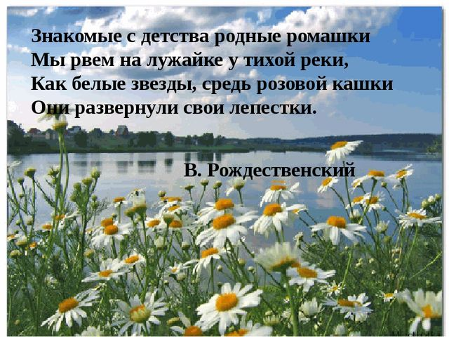 Знакомые с детства родные ромашки Мы рвем на лужайке у тихой реки, Как белые...