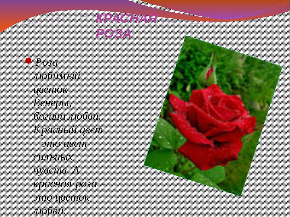 КРАСНАЯ РОЗА Роза – любимый цветок Венеры, богини любви. Красный цвет – это ц...