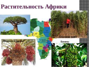 Растительность Африки Финиковое дерево Бананы Баобаб Слоновая трава