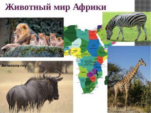 Животный мир Африки Антилопа-гну