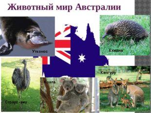 Животный мир Австралии Ехидна Кенгуру Коала Страус -эму Утконос