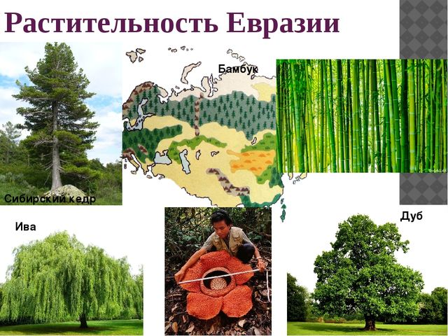 Растительность Евразии Сибирский кедр Дуб Ива Бамбук