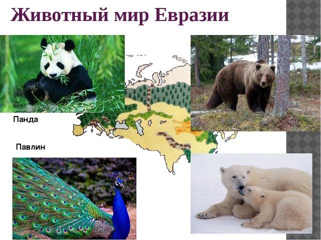Животный мир Евразии Панда Павлин