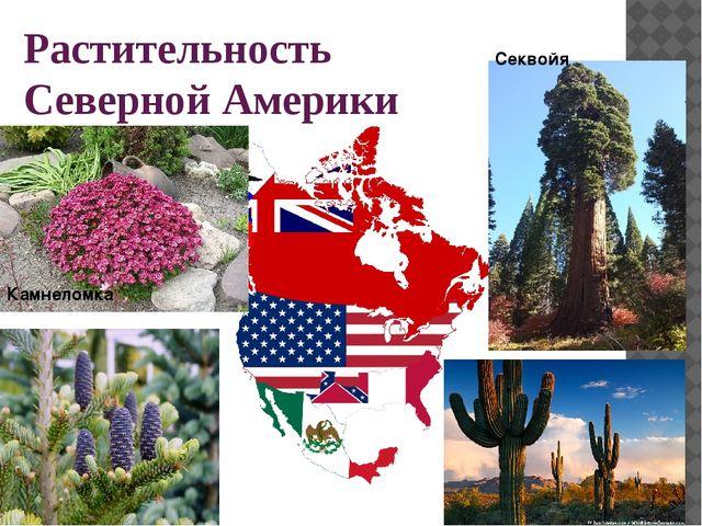 Растительность Северной Америки Секвойя Камнеломка