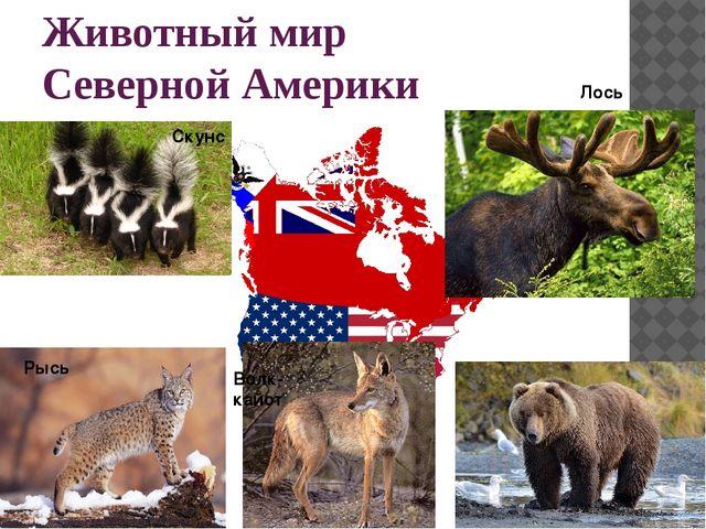 Животный мир Северной Америки Скунс Рысь Лось Волк-кайот