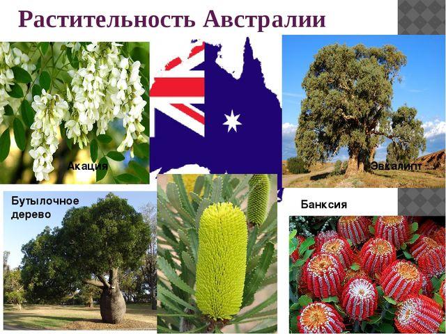 Бутылочное дерево Акация Эвкалипт Растительность Австралии Банксия