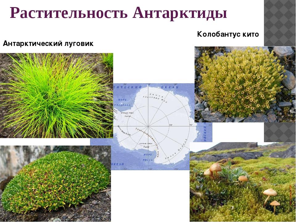Растительность Антарктиды Колобантус кито Антарктический луговик
